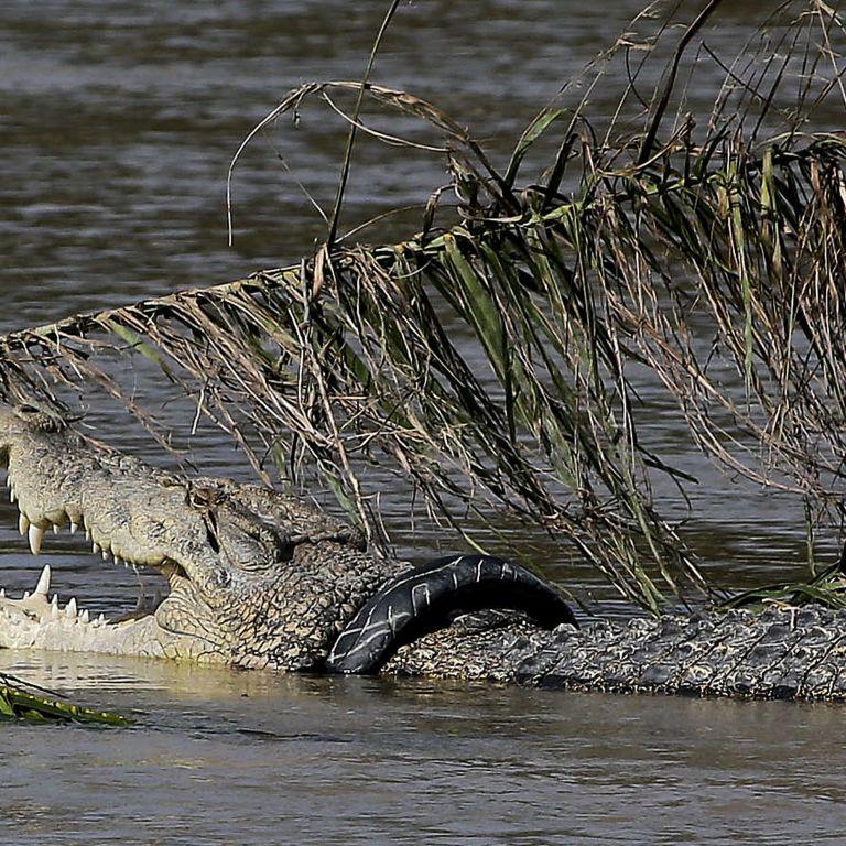 Крокодил затягнув у річку поліцейського, який шукав у воді телефон