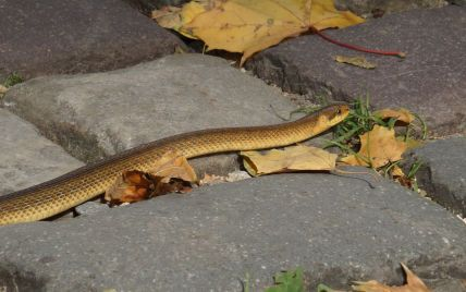 Попала в город из Карпат: во Львове в парке заметили редкую змею (фото)