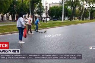 Новости Украины: в Днепре утка с малышами заблокировала движение по центральному проспекту