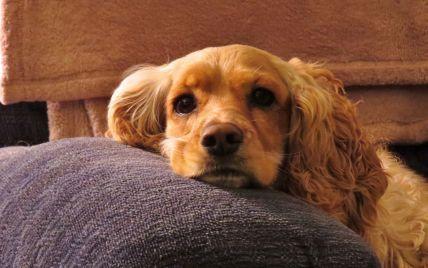 """""""Рви на шматки"""": у Сумах охоронець будмайданчика нацькував собак на батька з донькою, які вигулювали спанієля"""