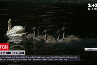 Новини світу: у Великій Британії почався щорічний перерахунок королівських лебедів