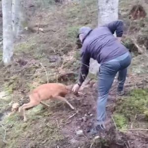 У Карпатах оленя хоробро проганяло грибника з лісу: з'явилось відео