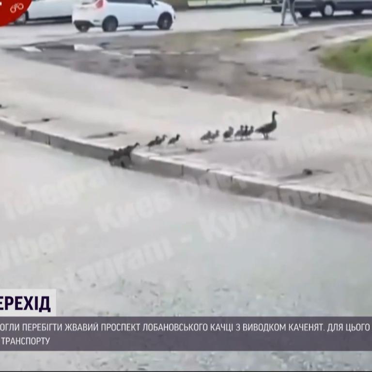 Мережу підкоряють три десятки каченят, які блокували рух проспектом у Києві
