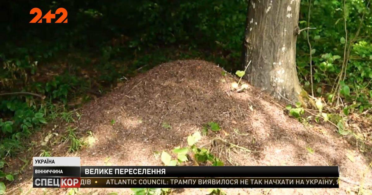Муравьи против короедов: в Винницкой области испытывают новый метод борьбы с вредителями