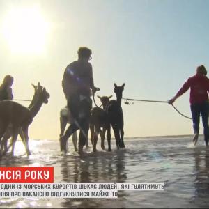 Робота мрії: у Бельгії шукають людей, які гулятимуть з альпаками на пляжі