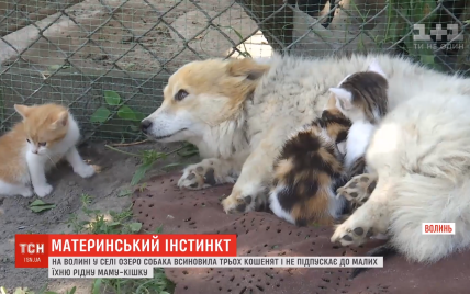 """На Волині собака """"вдочерила"""" трьох чужих кошенят"""