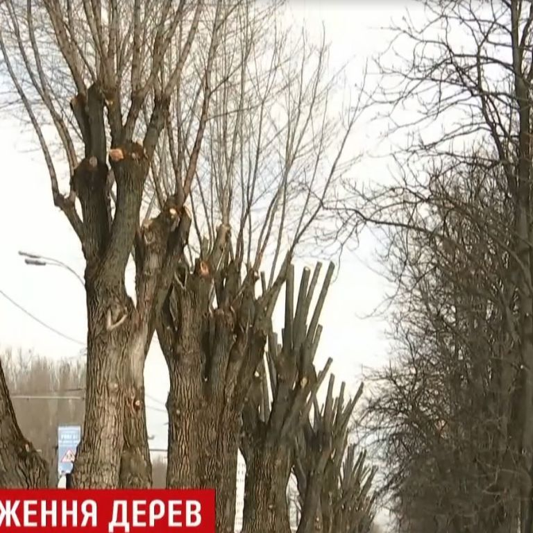 Карандаши вместо деревьев: кто и почему обкорнал киевские каштаны и тополя