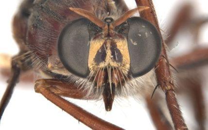 Австралійські вчені назвали нововідкриті види мух на честь героїв Marvel