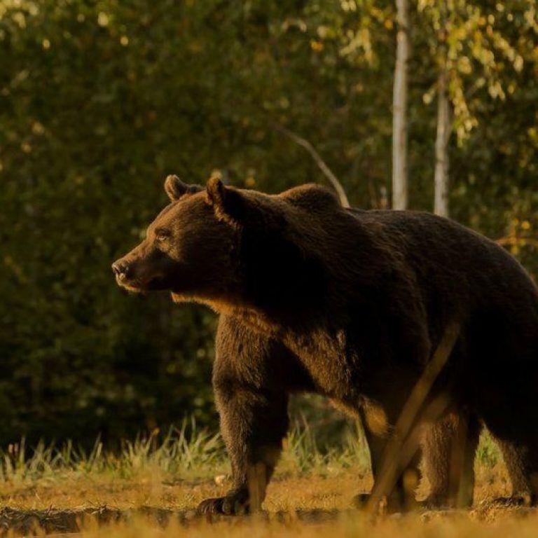 В Японії ведмідь поранив 4 людей і заблокував роботу аеропорту: тварину застрелили