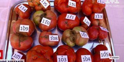 Чим неправильніша форма, тим краща: в Іспанії обирали найбридкіший томат сезону