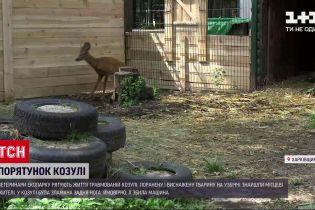 Новости Украины: в Харьковской области спасают раненую косулю