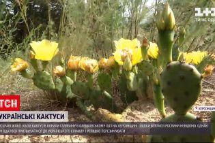 Новини України: в Херсонській області зацвіли кактуси
