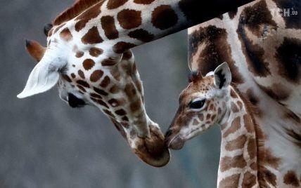 Длинноногий и все время движется: в Берлине показали новорожденного жирафенка