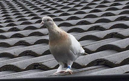 "В Австралии ""казнят"" голубя, который нарушил карантин"