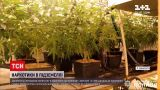 Новини України: закарпатець виростив марихуану на суму в понад 5 млн грн