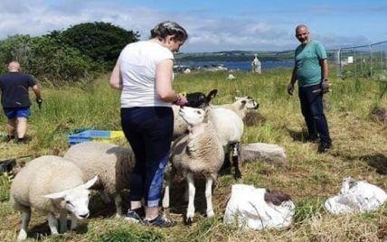 В Ірландії історики взяли на роботу стадо овець, які розчищають кладовище