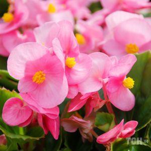 Будут радовать все лето: 5 видов цветов, идеальных для балкона