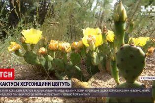 Новости Украины: в Олешковском лесу Херсонской области желтые цветы кактусов покрыли поляну