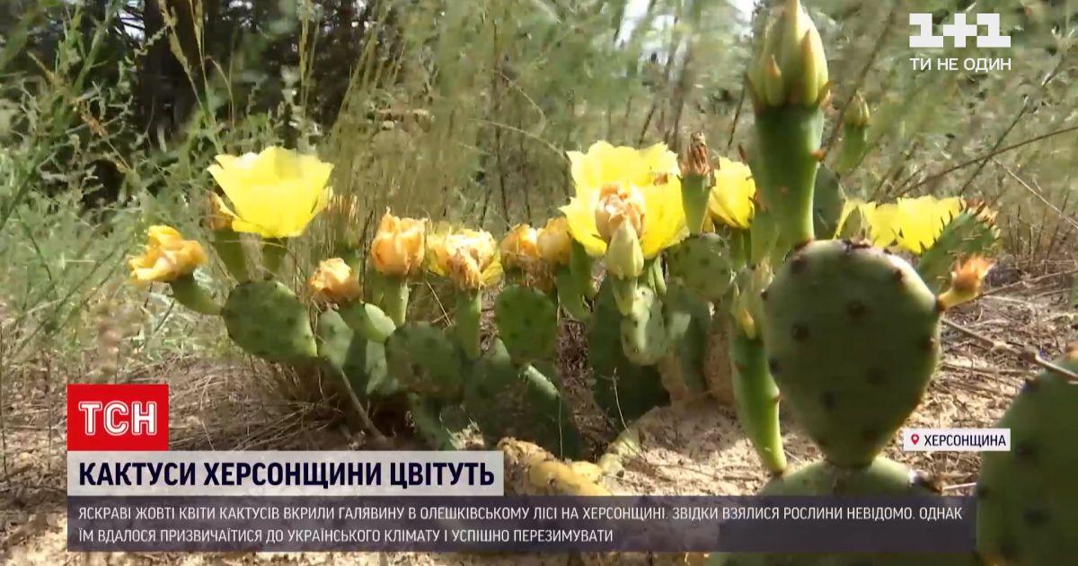 Відео — Новини України: в Олешківському лісі Херсонської області жовті квіти кактусів вкрили галявину — Сторінка відео