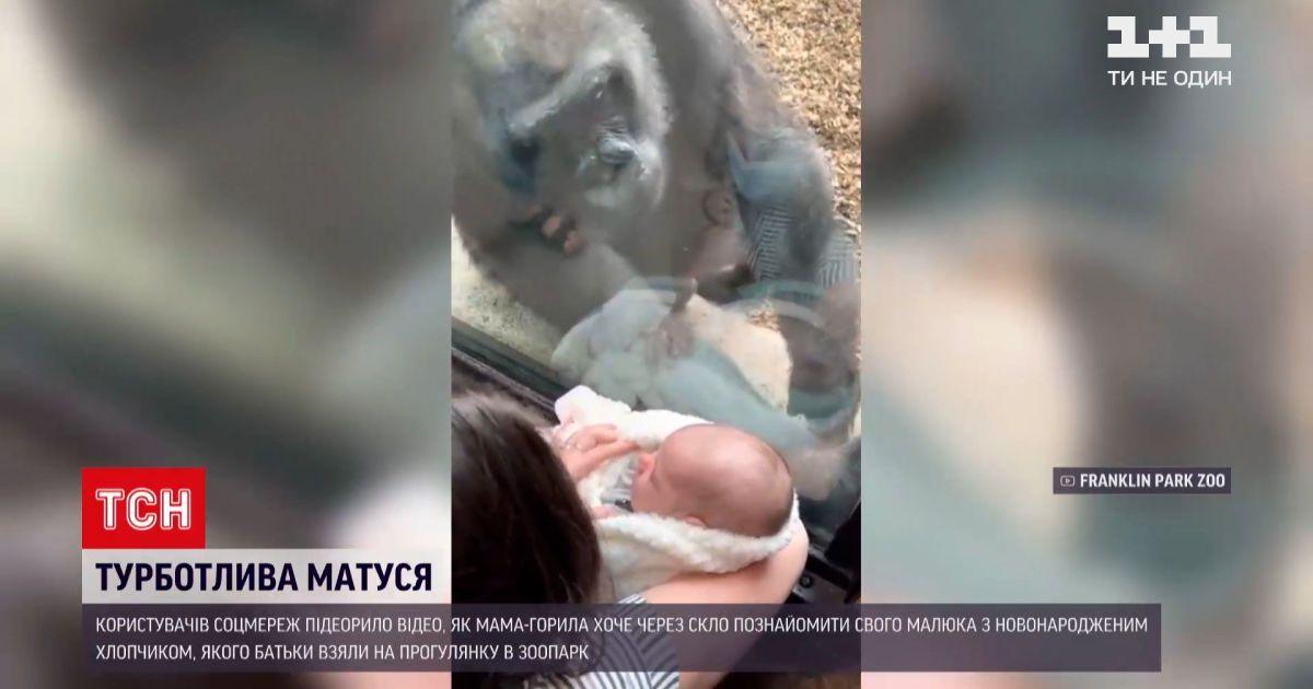 Новини світу: у Бостонському зоопарку горила милувалась людським немовлям
