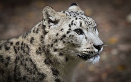 В Индии смелый кот дал отпор леопарду: видео взорвало Сеть