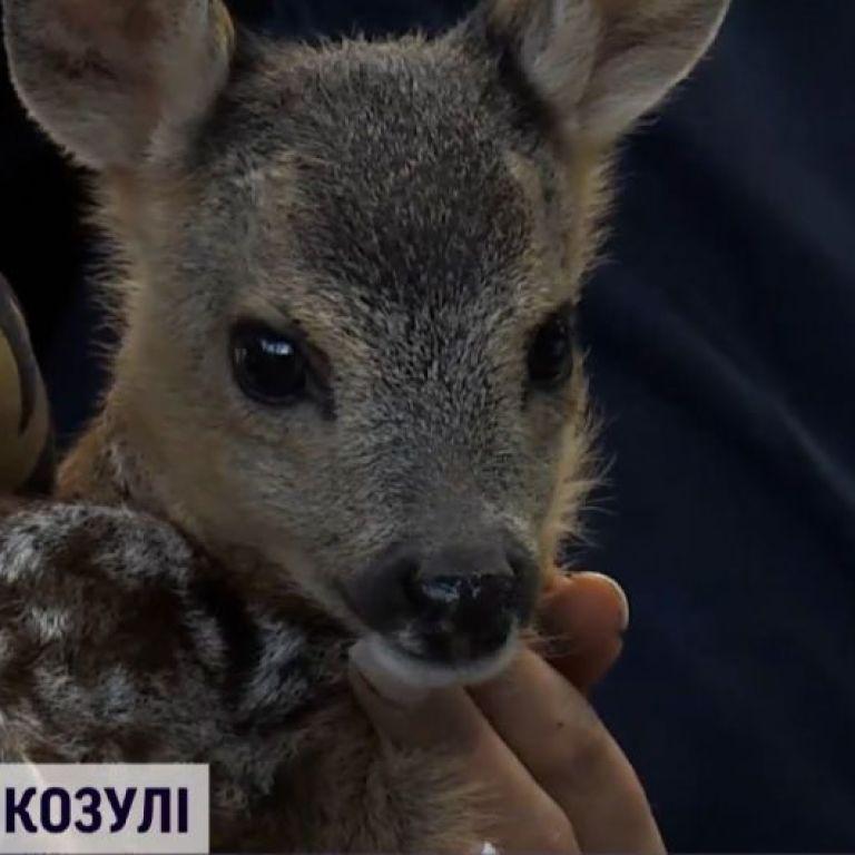 На Харківщині небайдужі врятували козулю: яка подальша доля тварини