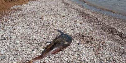Загинули не від знарядь лову: в Азовському морі на берег викинуло мертвих дельфінів