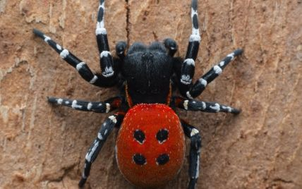 У київському лісі помітили небезпечного отруйного павука: чим загрожує його укус (фото)