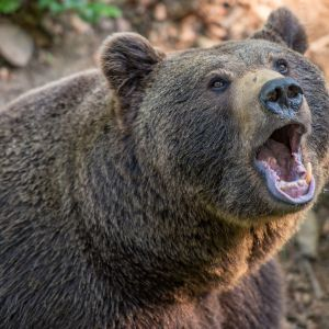 Ведмедиця відгризла пів обличчя: на Прикарпатті чоловік дивом вцілів після зустрічі зі звіром (відео)