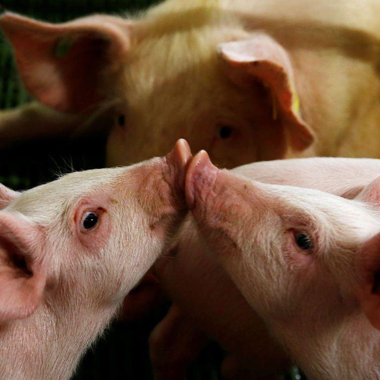 Африканська чума на Житомирщині: спеціалісти розповідають, як відрізнити заражене м'ясо