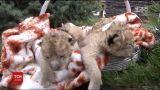 В Бердянске впервые показали новорожденных львят