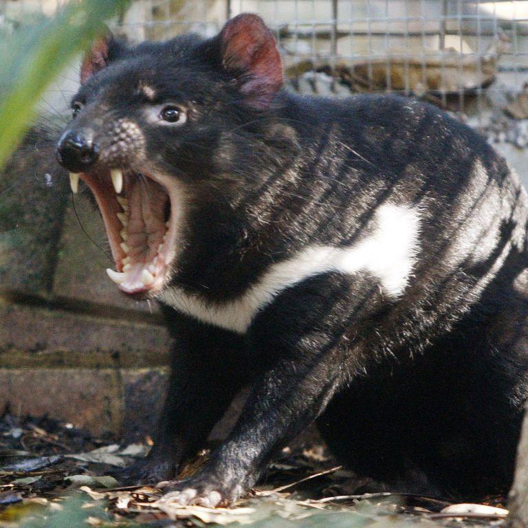Рятували тасманійського диявола, а знищили пінгвінів: що сталося в Австралії