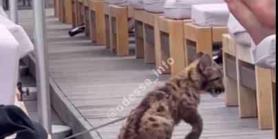 В Одесі чоловік привів на пляж виснаженого леопарда (відео)