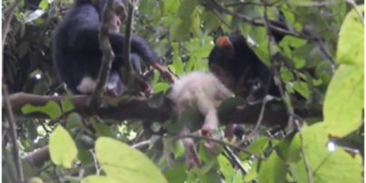 Кусали пальцы, ноги и голову: в Уганде взрослые шимпанзе жестко забили редкого детеныш-альбиноса