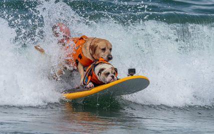 Чотирилапі ловлять хвилі: у Каліфорнії триває чемпіонат із собачого серфінгу