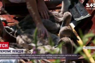 Новости мира: в Британии началась ежегодная перепись королевских лебедей