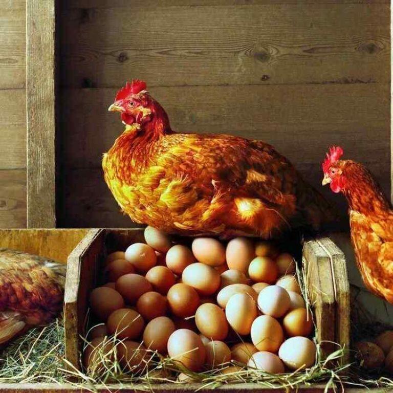 Курица или яйцо: что появилось раньше по мнению специалиста