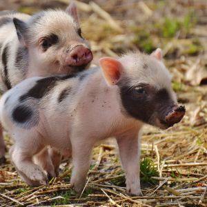 На помойке Харькова нашли больных чумой свиней