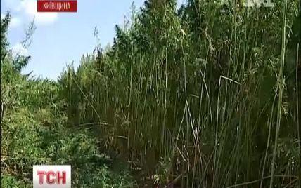 Під Києвом міліціонери спалили рекордну плантацію 4-метрової коноплі