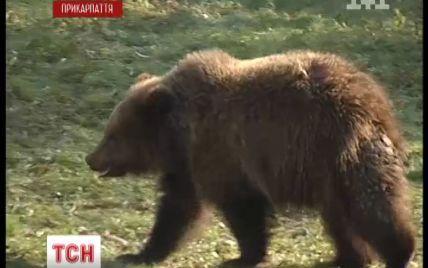 На Прикарпатті 55-річний чоловік залишився фактично без обличчя після нападу ведмедя