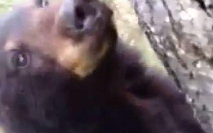 Ведмідь виліз на дерево понюхати мисливця (відео)