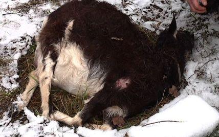 Чупакабра на Чернігівщині зламала шию вагітній козі та висмоктала з неї плаценту (фото)