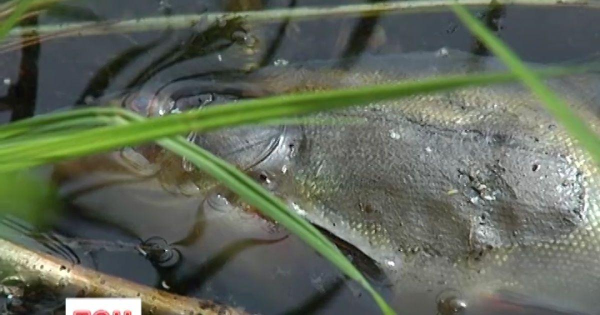 В Киеве массового погибла рыба