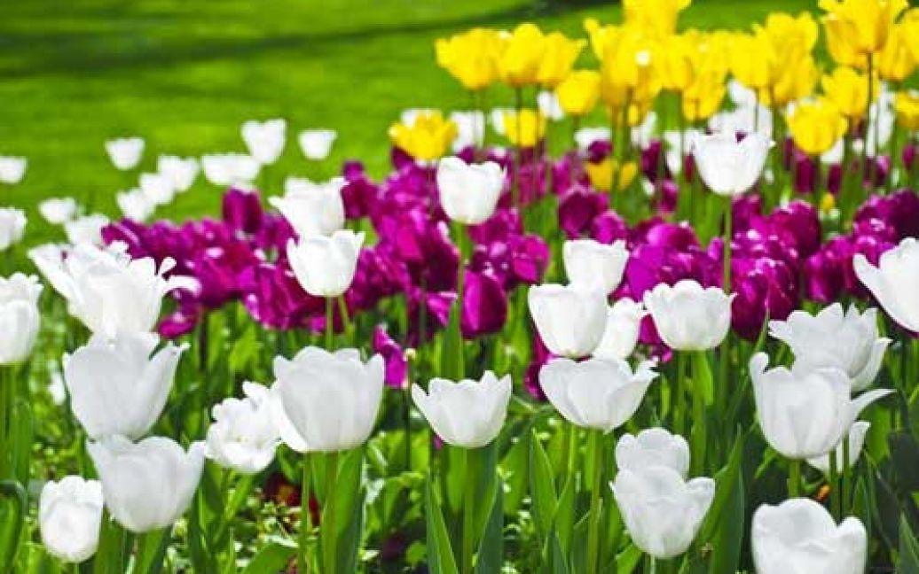 Подивитися на тюльпани приїжджає безліч туристів / ©