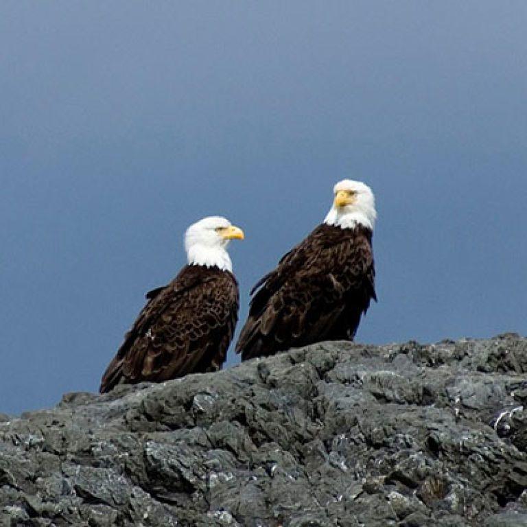 Белоголовые орланы убили 54 ягнят на ферме в США