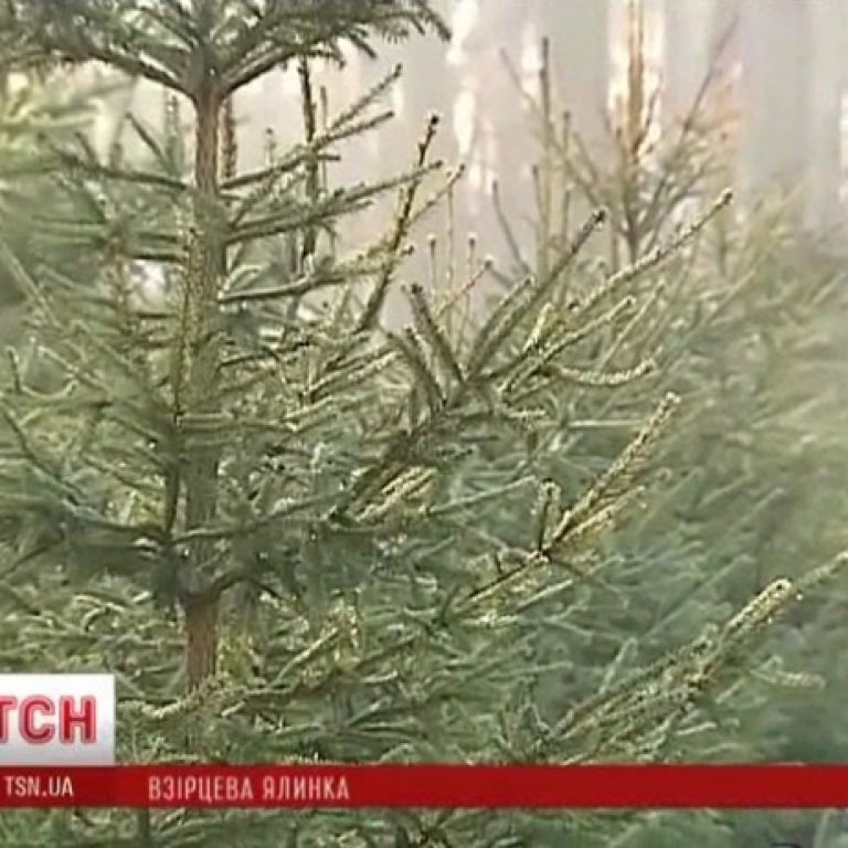Маленька ялинка на новорічних ринках коштує 50 грн, а метрова - 100 грн