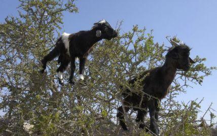 В зоопарку Києва відсвяткували день свійських тварин з козами і баранами