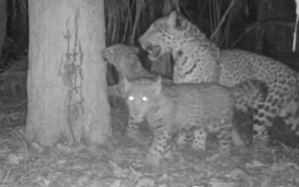 У національному парку Аргентини народилася двійня ягуарів