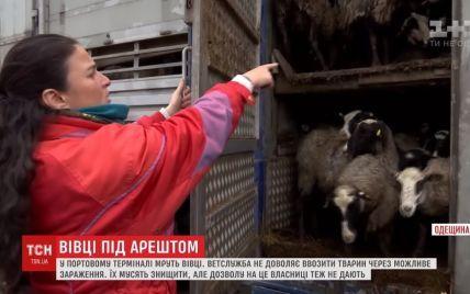 Трупы и невыносимая вонь: в Черноморском порту из-за бюрократии умирают триста голодных овец