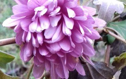 На дворе зима, в воздухе — весна: в Виннице цветут розы и хризантемы